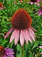 Echinacea has beneficial effects in preventing respiratory tract infections, may be useful as a supplement for colds and viral or bacterial infections. To be administered as a food supplement for adults, one (1) vegetable capsule daily, preferably with a meal.
