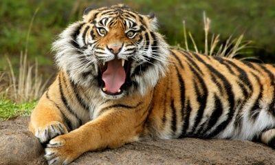 Sumatran Dangerous Tiger