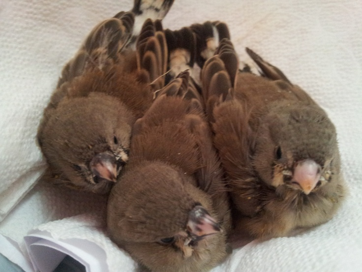 17 Best images about Zebra finches on Pinterest | Wood ...