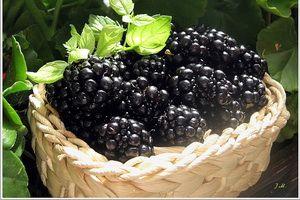 Выращивание ягоды ежевика: посадка и уход на видео, описание обрезки