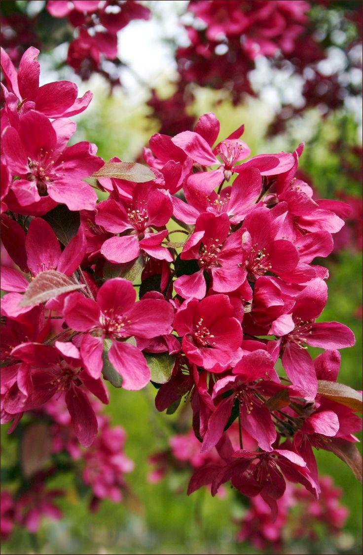 https://flic.kr/p/ehvRKR | Zier-Apfel | crabapple blossom