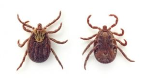 TRAILBLAZING & FIRST AID: Information about ticks for cadette trailblazing and first aid