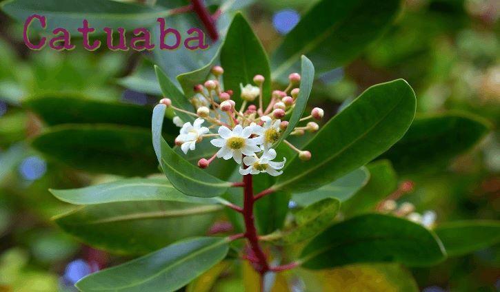 Catuaba es un árbol conocido como   Erythroxylum Catuaba es utilizado en la actualidad como afrodisíaco natural eficaz para aumentar el deseo sexual en hombres y mujeres, y como estimulante del cerebro y el sistema nervioso.