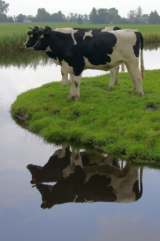 Cow Reflections in Holland #Netherlands