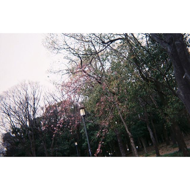 【rockiiii_99】さんのInstagramをピンしています。 《大阪城公園📷  #写ルンです #写ルンです30周年 #インスタントカメラ #フィルムカメラ #フィルム写真 #film #filmcamera #filmphotography #フィルムカメラに恋してる #フィルム写真に恋してる #現像 #like4like #love #大阪城公園 #park #3月 #march #friend #park #自然 #🌳 #flower #花 #桜 #🌸 #sakura #picture #写真 #写真好きな人と繋がりたい #カメラ女子》