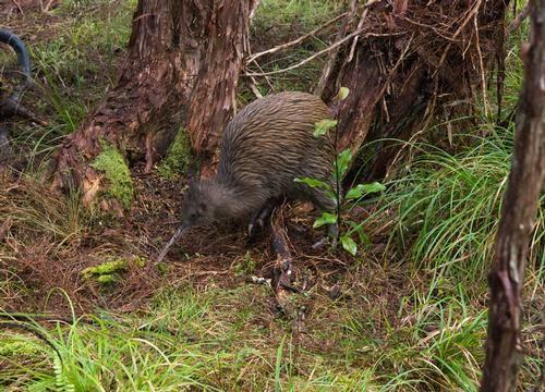 Kiwi Spotting at Stewart Island!