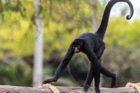 Animais em Extinção no Brasil - MACACO-ARANHA Encontrado nos estados do Mato-Grosso e do Pará, esse macaco enfrenta problemas como o desmatamento de seu habitat, caça ilegal e o tráfico de animais. (Espécie em perigo)