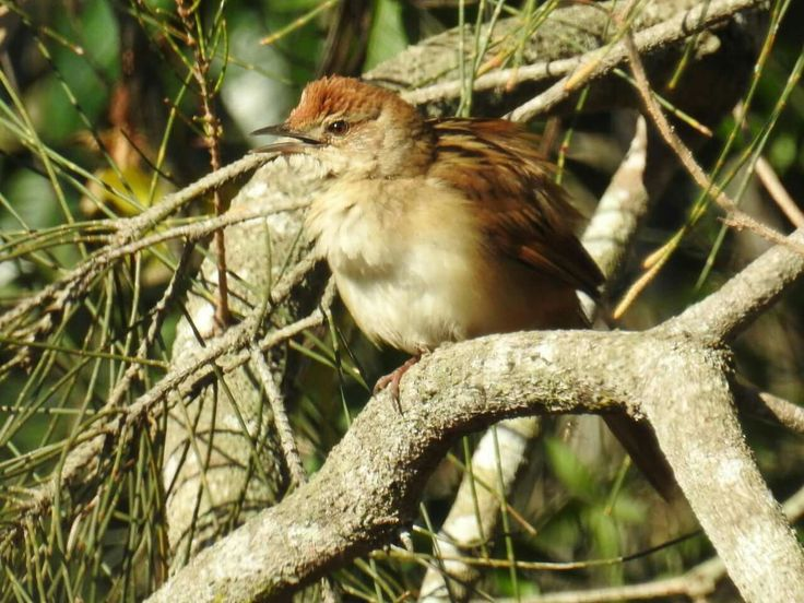Tawny Grassbird, Lindum, Brisbane
