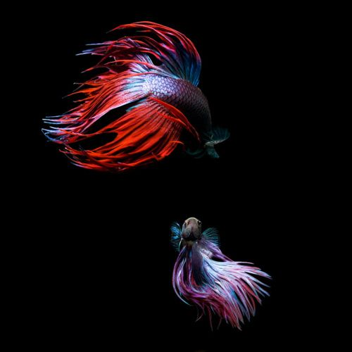 beautiful fighting fish: 304 405 Pixels, Sea Life, Betta Splendens, Art, Fish Betta, Siamese Fighter, Animals 3