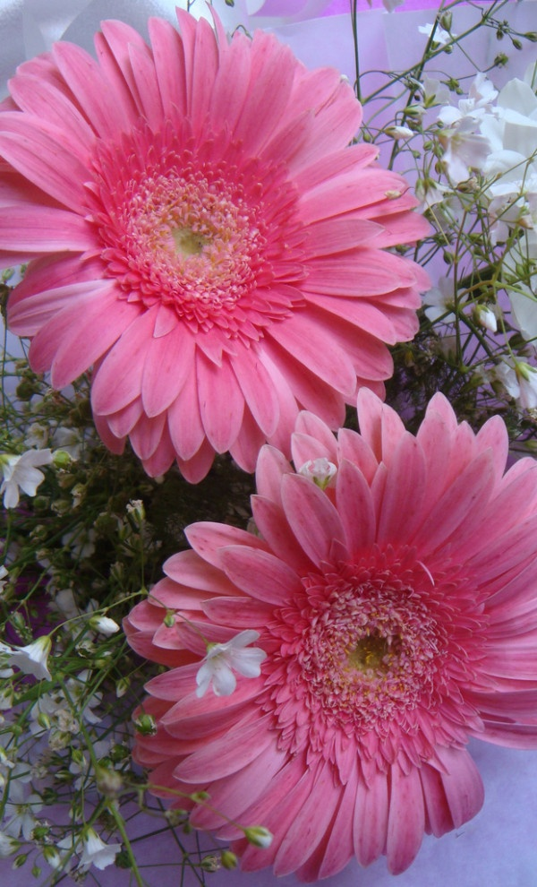 Pink gerberas......this is a tough plant and pretty as well....comes back each year in my area...