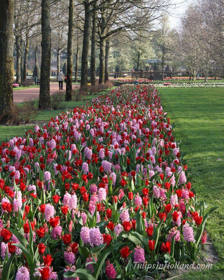 Tulip Amsterdam Keukenhof: 35 Best Holland Tulip Festival