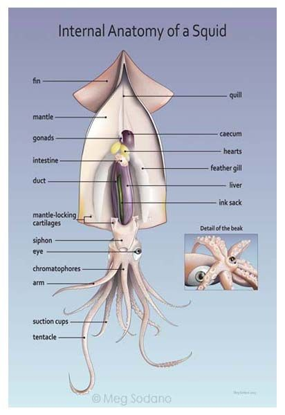 Internal Anatomy of a Squid (digital art) :: by Meg Sodano, http://medillsb.com/ArtistPortfolioThumbs.aspx?AID=6962
