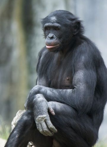 """""""I work with a species called the bonobo, and I'm happy most of the time because I think this is the happiest species on the planet... They're not into too many zoos because of their sexual behavior; their sexual behavior is too human-like for most of us to be comfortable with"""". - Susan Savage-Rumbaugh"""
