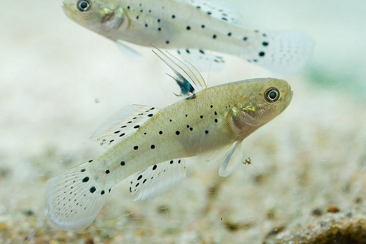 1000 images about gobies gudgeons on pinterest neon for Freshwater goby fish