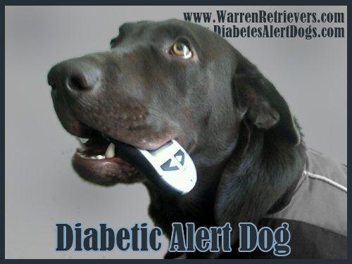 Diabetes alert dog!