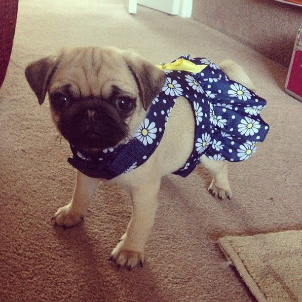 Lil pug puppy is dressed in her Sunday best.