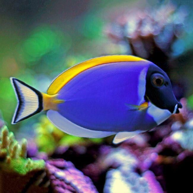 Powder Blue Tang Acanthurus Leucosternon Blue Tang Fish Fish Saltwater Fish Tanks