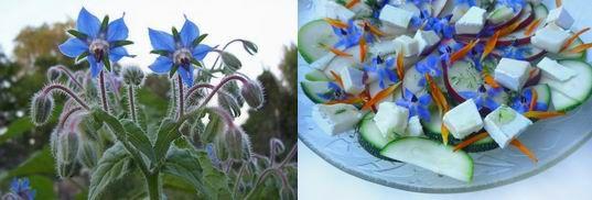 #Ogórecznik lekarski, #Borrago officinalis  Ogórecznik lekarski jest jednym z najładniejszych i wszechstronnie użytecznych ziół. Borrago officinalis, jak znany jest po łacinie, to roślina pochodząca z okolic Morza Śródziemnego i Bliskiego Wschodu, ale obecnie szeroko jest rozpowszechniona i uprawiana.  http://www.strony.ca/Strony54/articles/a5406.html