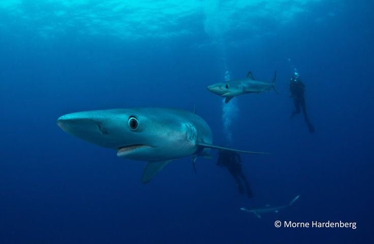 The diet of the blue shark includes many types of fish and squid, and may sometimes eat seals. Although flatfishes make up part of the diet, blue sharks predominantly eat pelagic fishes such as herring, silver hake ,white hake and haddock.