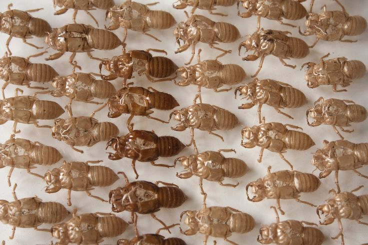 SUBMISSION,  Shed cicada skins organized neatly by Mandy Hague.