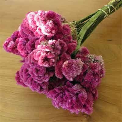 dried coxcomb flowers