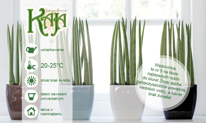 """Sansewieria, Wężownica: Jako roślina doniczkowa zasłynęła jako roślina niezwykle łatwa w pielęgnacji, zupełnie nie wymagająca oraz bardzo efektowna a na dodatek łatwa w rozmnażaniu. Roślina bardzo dekoracyjna, dobrze wygląda nawet tam gdzie inne gatunki nie chcą rosnąć: w biurach, halach fabrycznych, na korytarzach. UWAGA: Należy uważać aby rośliny nie """"przepodlewać"""" ponieważ kłącze jest bardzo podatne na zgniliznę."""