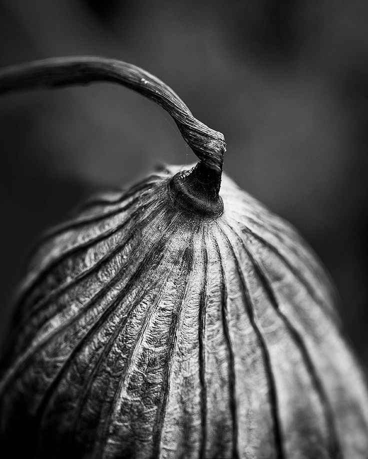 Textured Leaf and Stem of American Lotus Plant (A0022093)