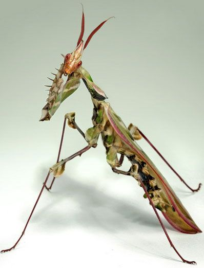 King of Mantis.(10 Pictures) | See More Pictures | #SeeMorePictures
