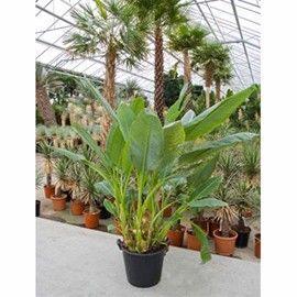 bananier la floraison spectaculaire et au feuillage luxuriant utilisation en plante dintrieur - Plantes D Exterieur Terrasse