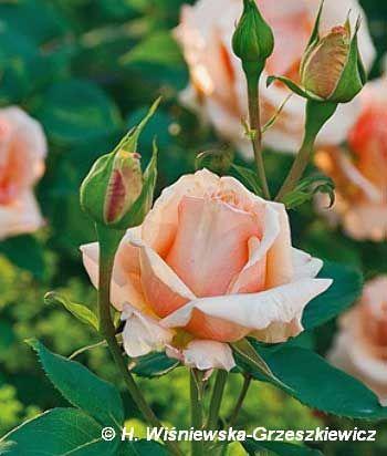 Róża wielkokwiatowa 'Valencia' Rosa 'Valencia'  Kwiaty są miedzianożółte, duże, wypełnione obficie płatkami, bardzo kształtne, o delikatn...