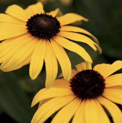 Photo: Proven Winners | thisoldhouse.com | from 15 Fast-Growing Flowers for a Cutting Garden