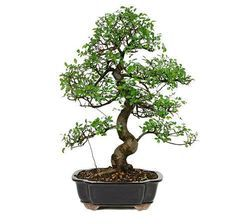 The Chinese Elm Bonsai Tree from Nursery Tree Wholesalers is one of our most popular bonsai trees and is always a perfect addition of style and grace to any coffee table. Distinguished for its unique