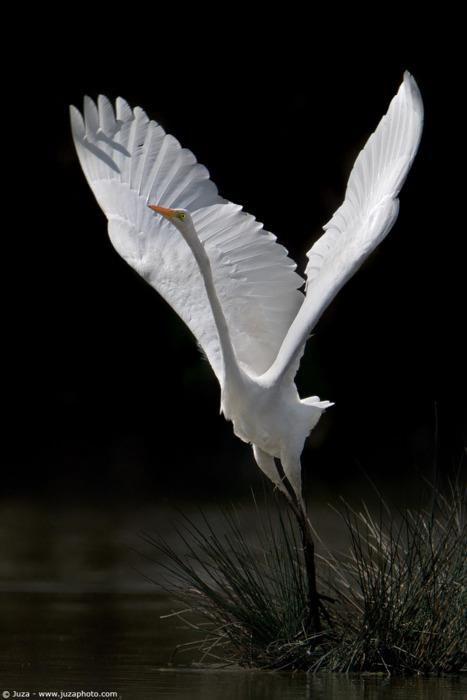 White Heron - Juzaphoto
