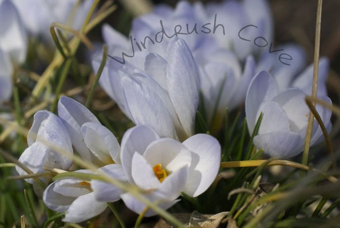 Blushing Blue Crocuses - Fine Art Nature Print - Photography - 8x10 by Windrush Cove, $30.00 USD