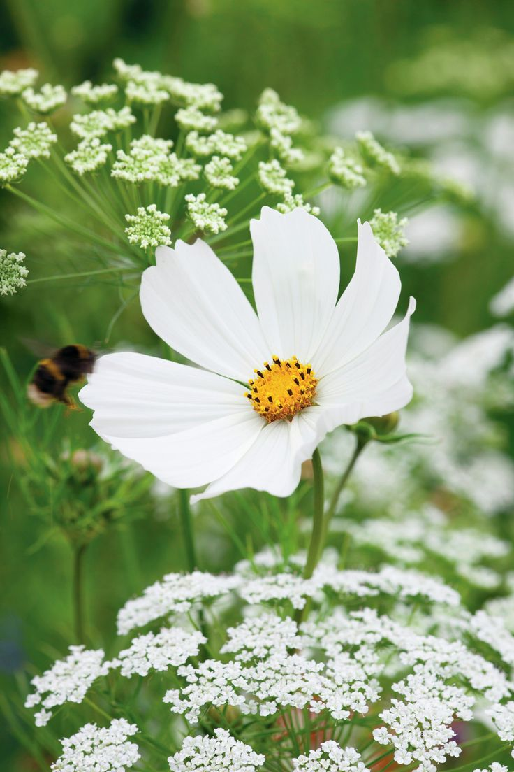 Holland park garden gallery brings in annuals from across ontario to - Cosmos Bipinnatus Purity Has Large Open Flowers Of Pure White With Delicate