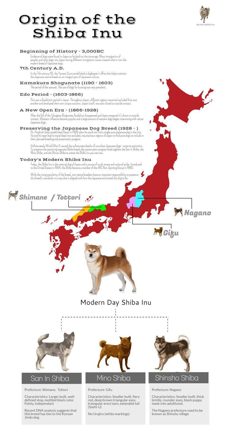 Shiba Inu history and origins infographic. Love the Shiba Inu breed? Learn more…
