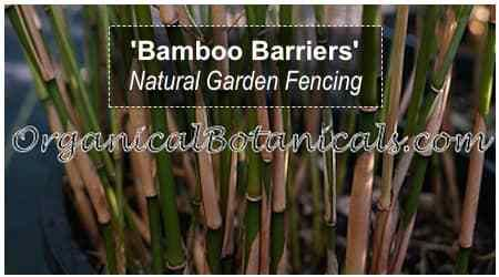 Bamboo Makes for a PERFECT Natural Garden Barrier! Mixed with Wild Blackberries planted on each end provides a Natural Barb-Wired Fence YEAR ROUND via @jdubtbird #organicalbotanicals  https://www.organicalbotanicals.com/bamboo-barriers-diy-natural-garden-fencing/amp/