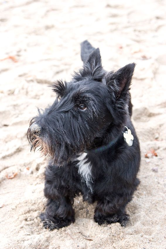 pin coolest scottie - photo #28