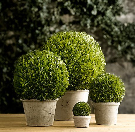 Real preserved box wood in terra cotta planters or ceramic is a wonderful way to bring a green natural look into a room without having to worry about watering plants.  (Just be sure it is real, plastic boxwood is an atrocity.)