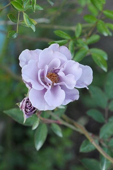 floribunda rose rosa 39 paper moon 39 japan rosen. Black Bedroom Furniture Sets. Home Design Ideas