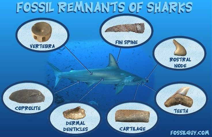Learn about different types of shark fossils that can be found