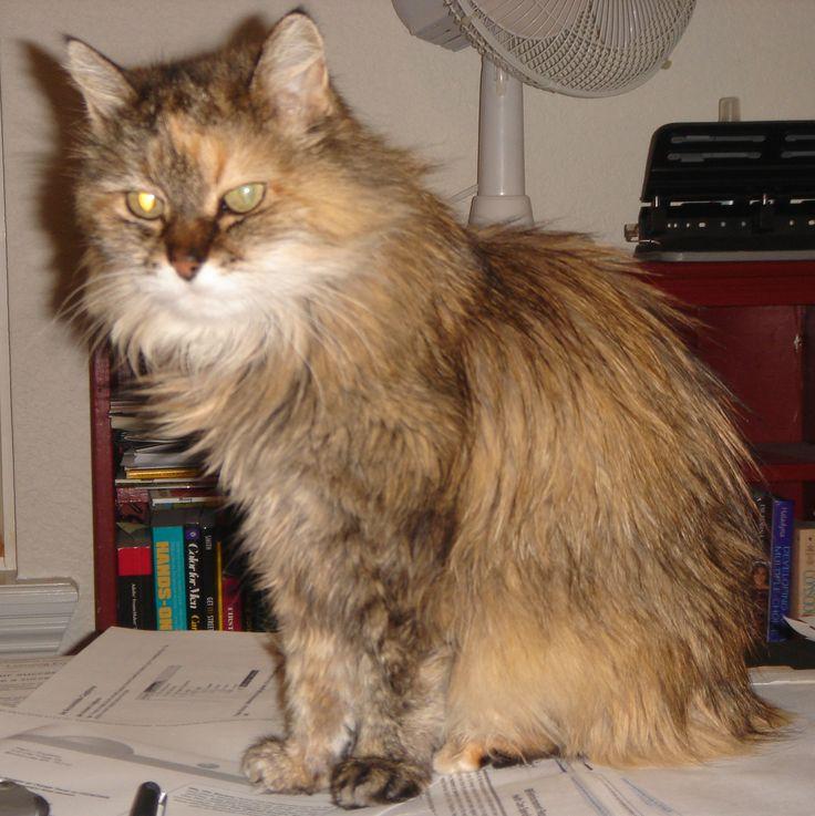 Calico Norwegian Forest Cat | CATS | Pinterest