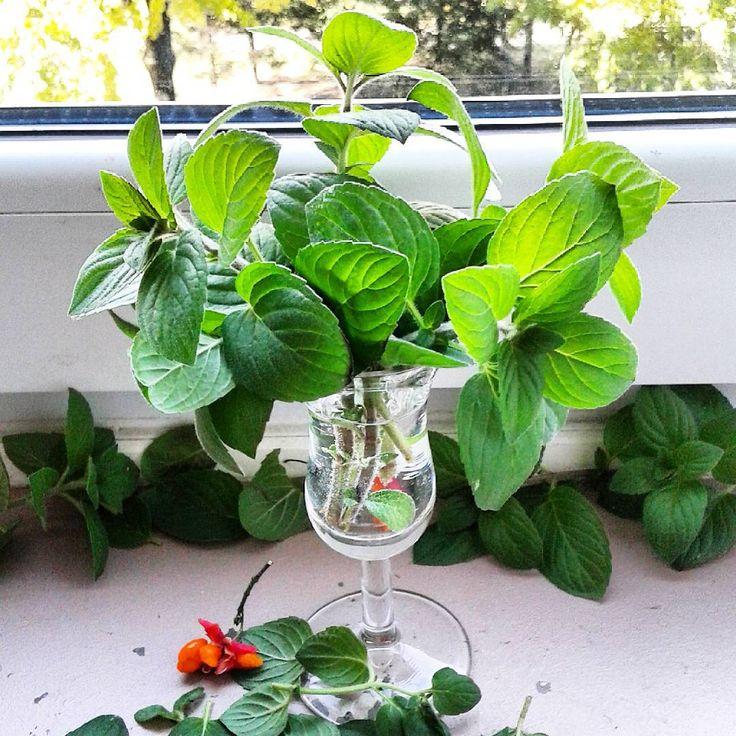Trochę zieleni nie zaszkodzi jesieni...bukiecik mięty z balkonu nawet ładnie się prezentuje...#bukiet #mięta #listkimięty #zieleń