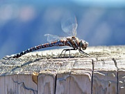 Conscious Art Studios: Dragonfly Totem Meaning
