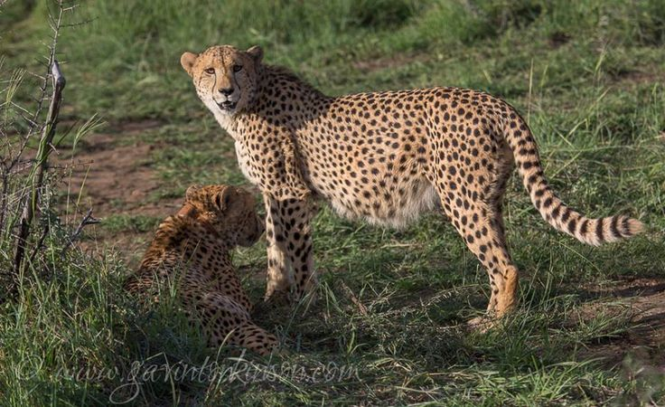 Easter Gift to our guest... The Phinda male cheetahs were released just in time for Easter Photo Credit: Gavin Thonkinson