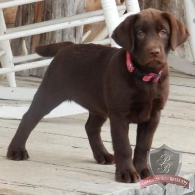 I had to throw this adorable Female Chocolate Lab in for Good Measure. What a Cutie!!! This is from the Philly Breeder also. They breed alot of Champion Bloodlines