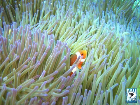 "Nemo says ""Don't worry even today is raining, I am still here waiting all divers"" -  www.balidiving.com #balidiving"