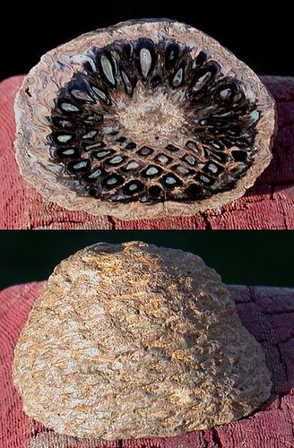 Fossilized pine cone