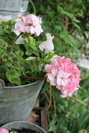 Apple blossom geraniums...