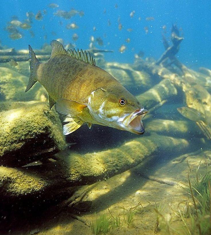 largemouth bass eating - photo #47